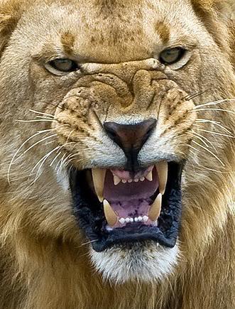LionAngry